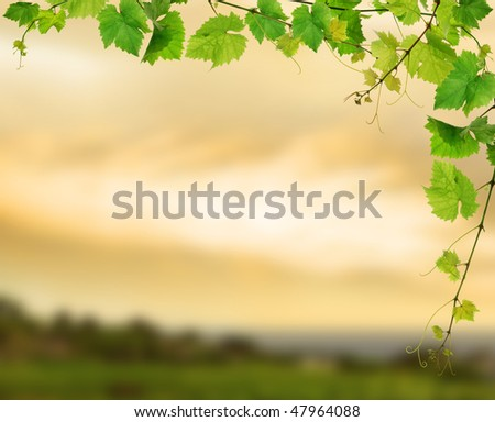 Fresh grapevine on background of sunset vineyard