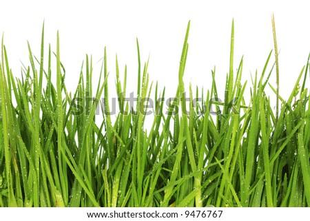 Fresh grass after a rain