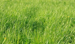 fresh grass growing in a field of yellow flowers large peaceful