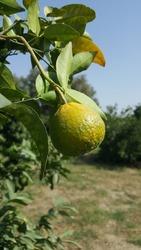 Fresh  gree orange in orange tree