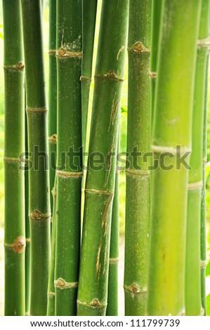 Fresh green bamboo tree