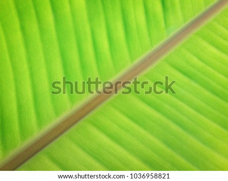 Fresh green banana leaf background with crosswise stick #1036958821