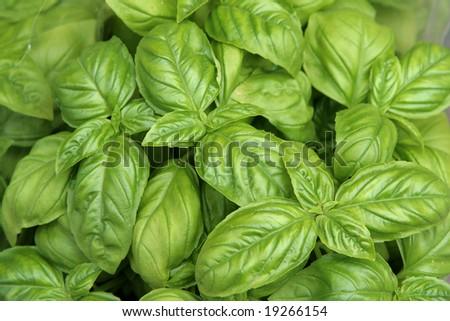 Fresh green basil close-up Zdjęcia stock ©