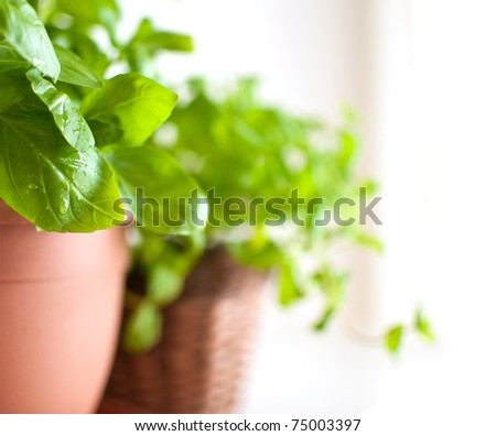 Fresh Green Basil Herb in Pot on Light Background