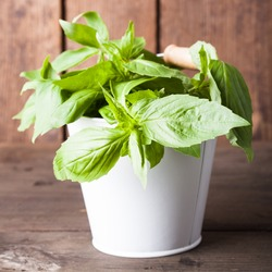Fresh green basil in little white pail on wood background