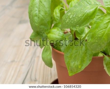 Fresh Green Basil in Pot on Aged Wooden Table