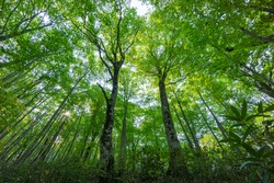 Fresh green beech forest in the mountains