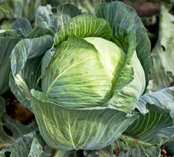 fresh green cabbage in the farm field