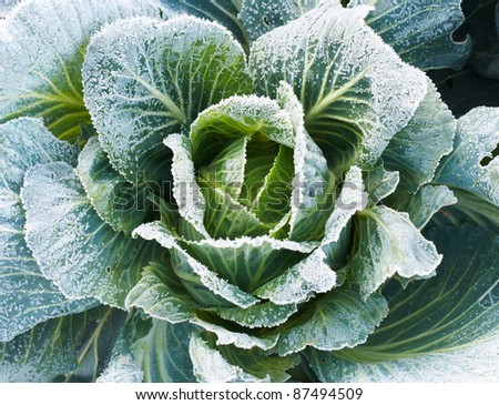Fresh green cabbage with frozen leaves.