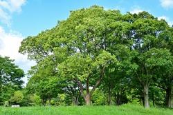Fresh green Camphor (Kusunoki) tree in the blue sky background