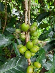 Fresh Green Coffebean in the garden