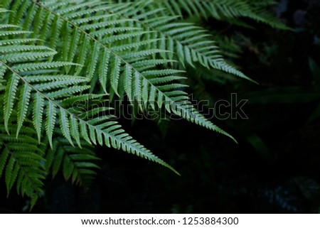 Fresh green fern leaves on black background in a garden #1253884300