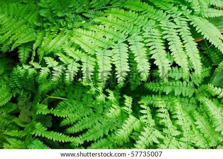 Fresh green fern leaves (selective focus)