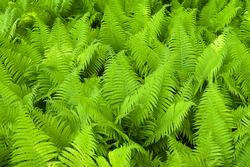 Fresh green ferns.