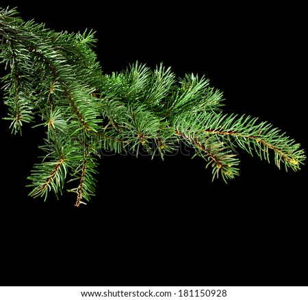 Fresh green fir branch close up with copy space isolated on black background