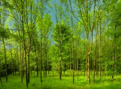 Fresh green forest at spring daylight, trees (probably ash trees) , green leafs,  broad leaf trees, sky, grass. Relaxing nature,sunshine. High resolution photo.Czech Republic,Europe