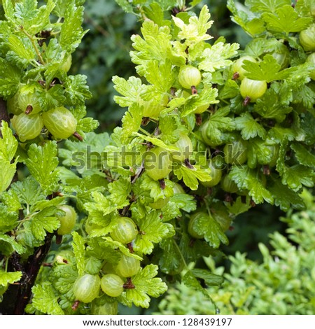 Fresh green gooseberries on a branch of a gooseberry bush with drops of water after the rain.