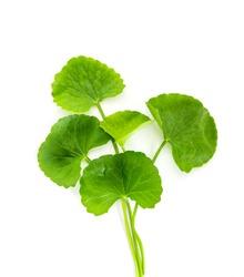 Fresh green Gotu kola, Centella asiatica leaf on white  background , Asiatic pennywort, Indian pennywort , ayurvedic medical herb concept
