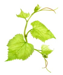 Fresh Green Grape Leaf isolated on white background