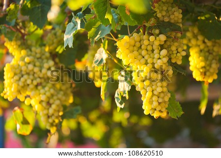 Fresh green grapes with green leafs on vine
