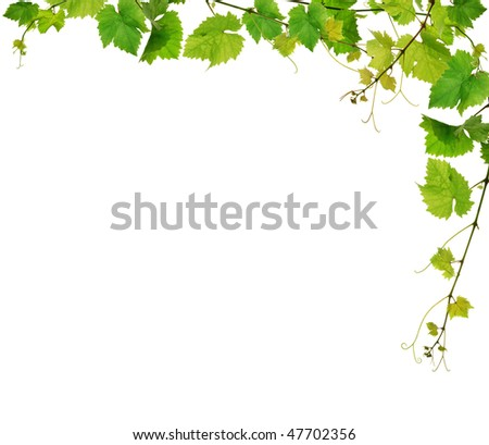 Fresh green grapevine frame