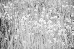 Fresh green grass and light white dandelion flowers. Natural background. Springtime concept. Many tender flowers in field. Dandelion soft bloom. Eco and organic. Dandelion in nature. Dandelion field.