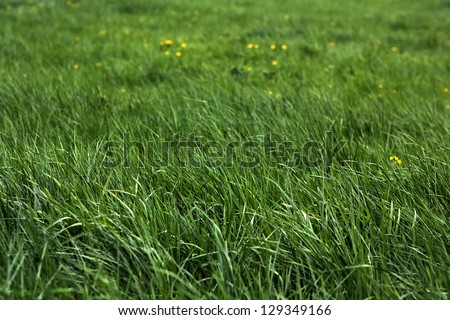 Fresh green grass and yellow flowers of a meadow.