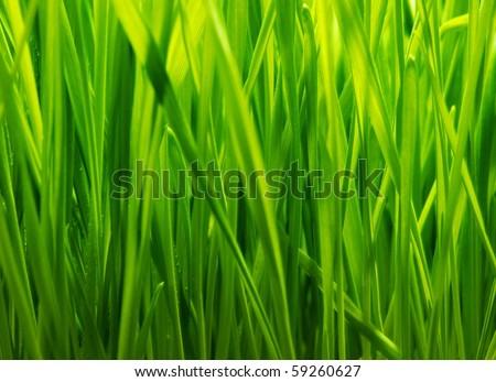 Fresh green grass background