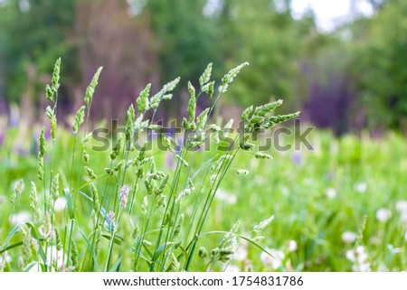Fresh green grass background. The texture of the grass. Bright green grass. Beautiful high grass close-up.