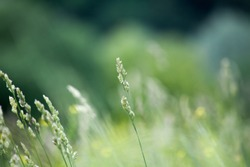 Fresh green grass field on blurred bokeh background close up, ears on meadow soft focus macro, beautiful sunlight summer lawn, spring season nature landscape, natural green grass texture, copy space