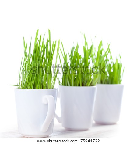 fresh green grass in coffee cups closeup on white background