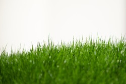 fresh green grass in foreground isolated on white background