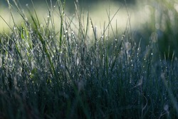 Fresh green grass on dew drops, wet grass. Transparent droplets of dew in grass on summer morning sparkle in sunlight in nature. Fresh morning dew on spring grass, natural background.
