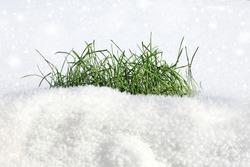fresh green grass on the snow