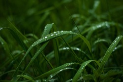 Fresh green grass with dew drops close up. Water driops on the fresh grass after rain. Light morning dew on the green grass.