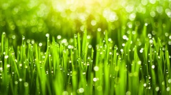 Fresh green grass with dew drops in sunshine on auttum. Abstract blurry background. Nature background. Texture.
