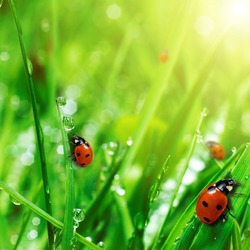 fresh green grass with water drops and ladybugs close up
