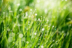 Fresh green grass with water drops on the background of sunlight beams. Soft focus.
