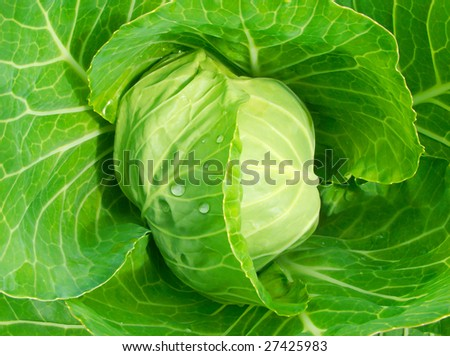 fresh green head of cabbage with droplets of dew - stock photo