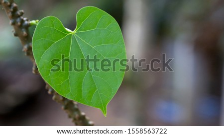 Fresh green heart-shaped leaves with the vine of Tinospora cordifolia  (T. Crispa) or Heart-leaved moonseed in the garden, Medicinal properties help treat diseases and Alternative Medicine Herbal