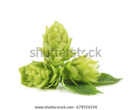 Fresh green hop branch, isolated on white background