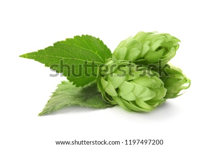 Fresh green hops on white background. Beer production