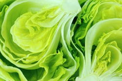 Fresh Green Iceberg lettuce .