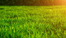 Fresh green lawns with the morning sun, backyard in spring, Close-up of tropical grass in the garden,  Lush green with morning sunshine, green grass nature background texture.