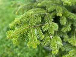 Fresh green leaf background. Balsam fir , Blister pine tree.  Firs, American silver fir, Balm of gilead , Eastern, Canadian, Abies balsamea
