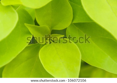 fresh green leaf core close up