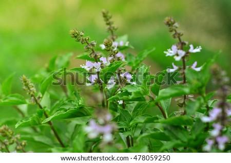 Fresh green leaf Sweet Basil nature background.(Basilicum Ocimum) Zdjęcia stock ©