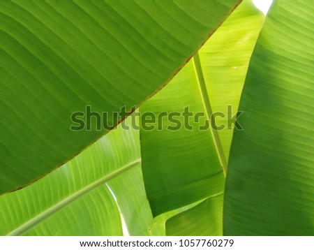 Photo of fresh green leaf texture, green banana leaf textured background