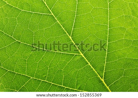 Fresh green leaf texture macro close-up #152855369