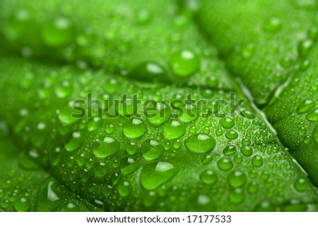fresh green leaf with water droplets (shallow DOF)